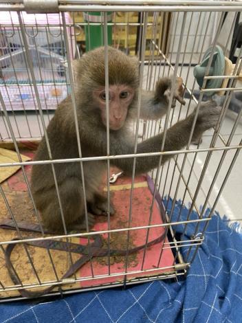捕獲後的小猴照片