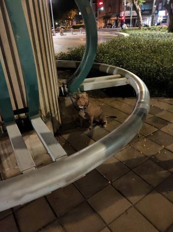 圖1、因飼主疏忽釀成大禍的比特犬於案發後無辜地坐在路旁。