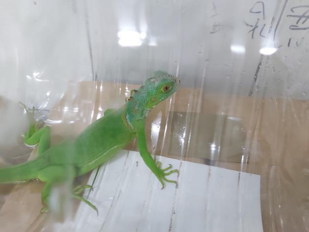 人為飼養後逸失被捕獲的綠鬣蜥幼體-1