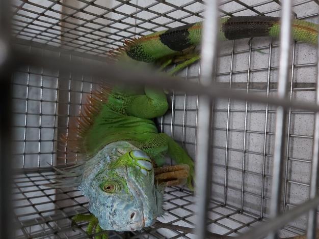 人為飼養後逸失被捕獲的綠鬣蜥成體-1