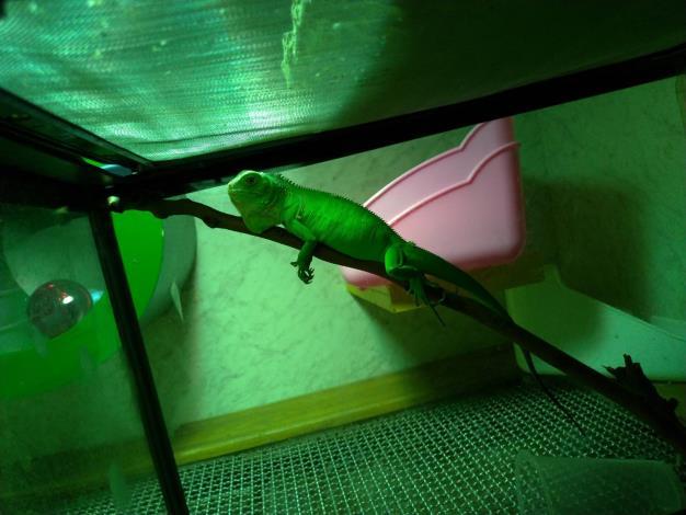 人為飼養後逸失被捕獲的綠鬣蜥幼體-2