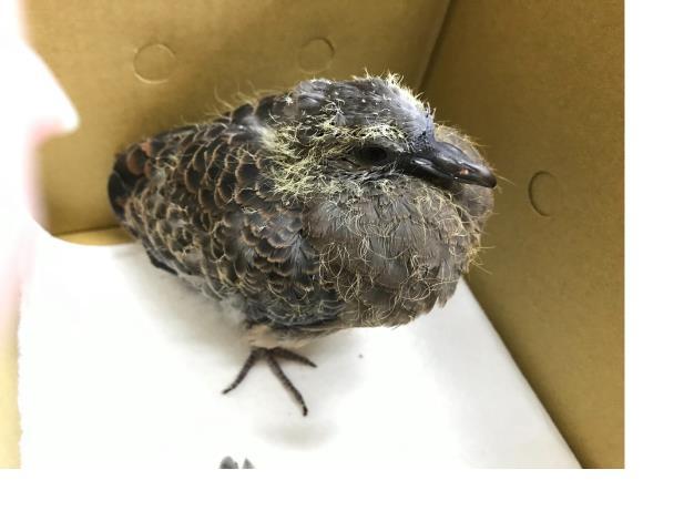 圖2.學飛的幼鳥