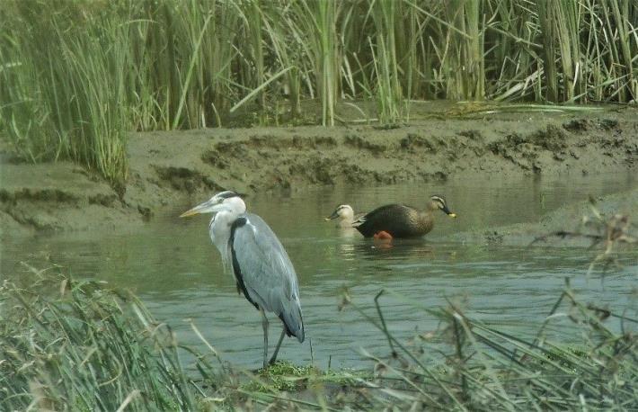 圖1.華江的蒼鷺與花嘴鴨