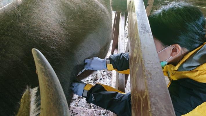 圖2.陽明山擎天崗牛棚內4隻牛注射牛結節疹疫苗