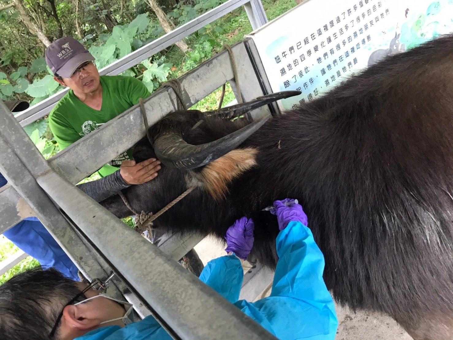 圖3._關渡自然公園放養牛隻完成疫苗注射