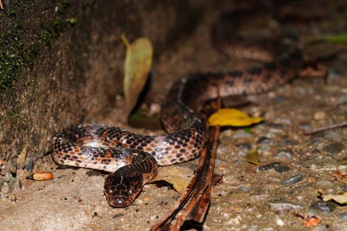 圖2. 夏天是蛇類活動高峰季。