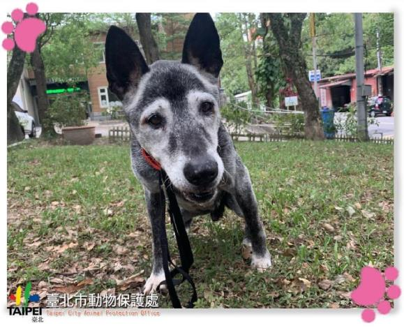 照片2.米克斯(佐佐木)被救援後在臺北市動物之家有良好的醫療照顧