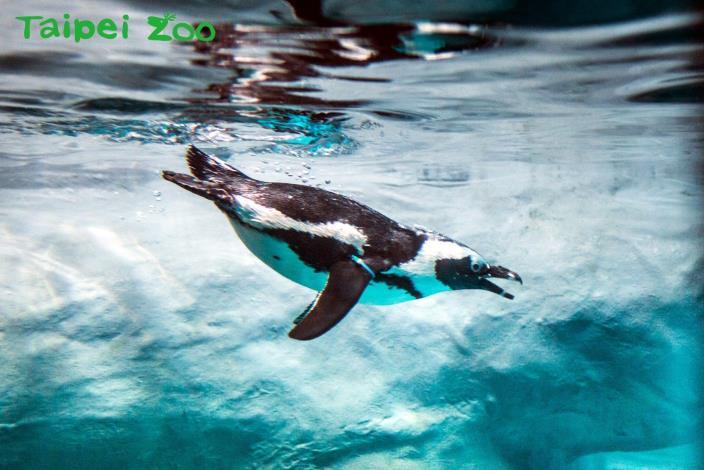 一起關注黑腳企鵝命運~許牠們幸福無憂的未來!