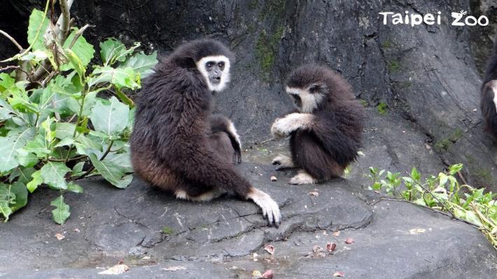 一樣「栗子」百樣情!長臂猿的故事溫暖人心!