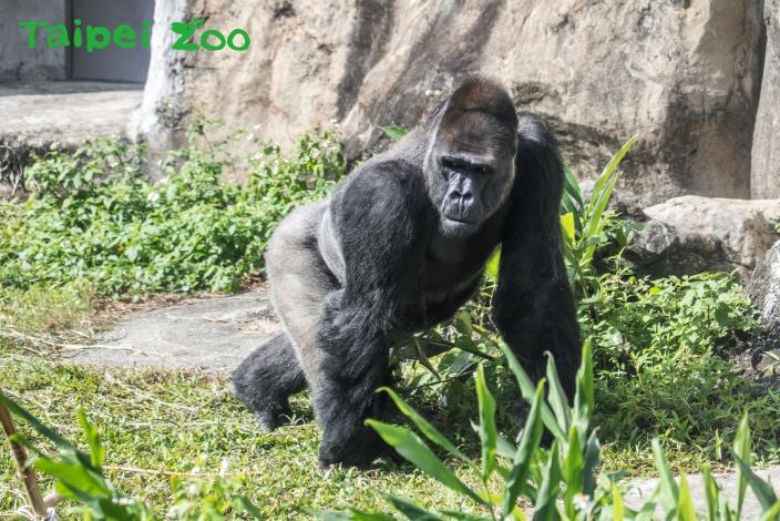 金剛猩猩「寶寶」生日願望~動物園八年奔波終有成!