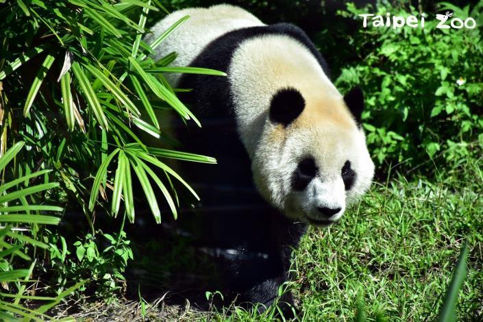 大貓熊「圓仔」邀請您到動物園來一趟i-Voting的投票之旅呦![開啟新連結]