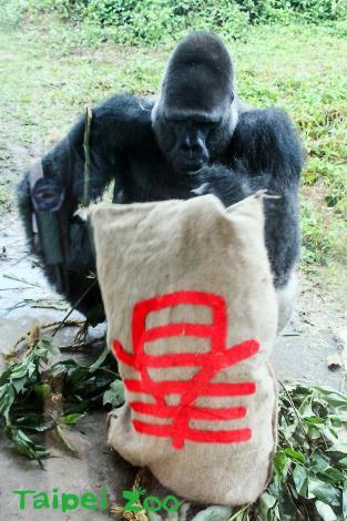 過年來動物園和金剛猩猩「寶寶」說聲嗨!