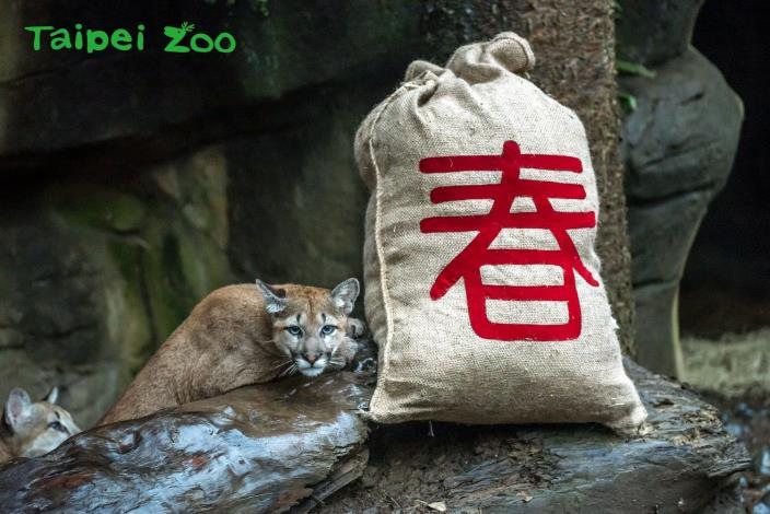 第一次過農曆新年~美洲獅寶寶嗨翻天!