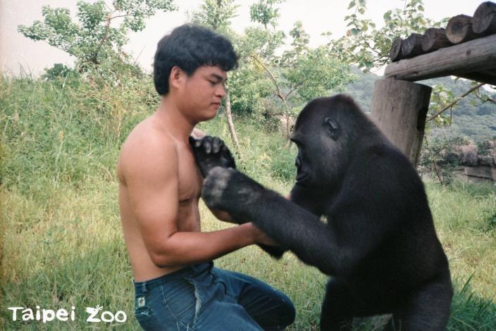 資深保育員甜蜜回憶過往~金剛猩猩「寶寶」趣事一籮筐!