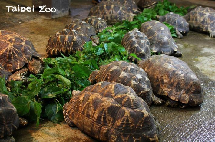 緬甸星龜想吃大餐? 溫暖加陽光是關鍵!