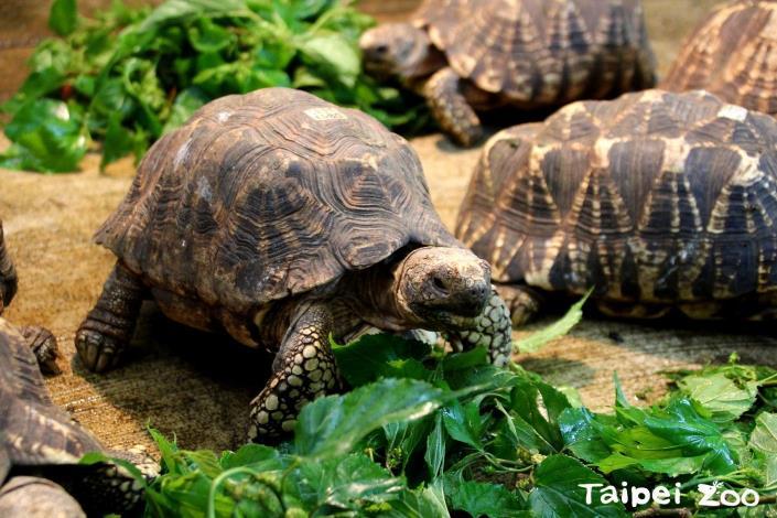每日提供足夠的UV量,也是照養緬甸星龜、讓牠們健康吃大餐的重要關鍵喔!