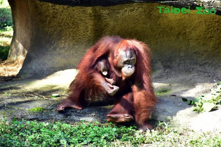 動物園雨林區有「茜」影、人猿寶寶「妞茜」現身囉!