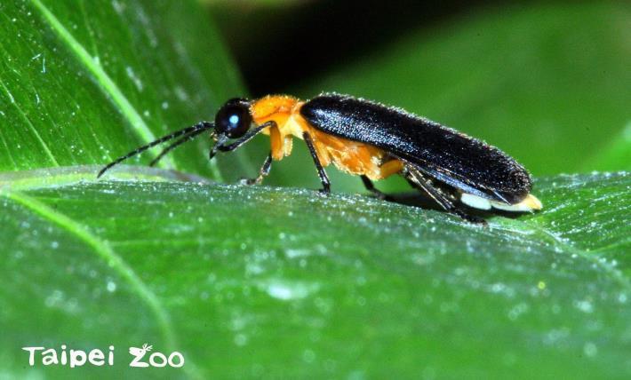 螢火蟲必須棲息在沒有化學藥劑污染及人為過度干擾的環境(黑翅螢)