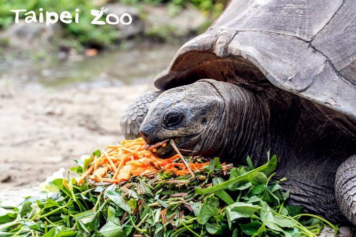 亞達伯拉象龜寶寶孵化 跟爸媽體型體重差很大