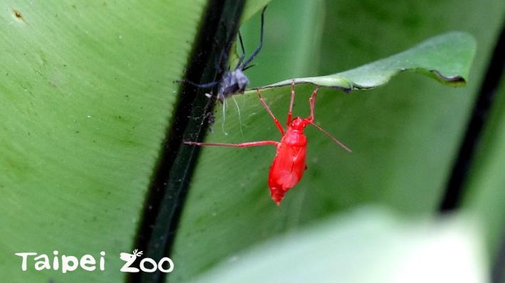 「紅姬緣椿象」剛蛻皮時整隻都是紅色,慢慢地翅芽轉為黑色[開啟新連結]