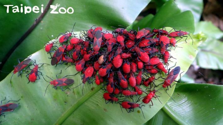 在動物園裡每年春季和秋季欒樹果實成熟時,「紅姬緣椿象」會有2次大發生[開啟新連結]