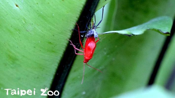 「紅姬緣椿象」孵化後的若蟲呈鮮紅色,每蛻一次皮翅芽就再長長一些[開啟新連結]