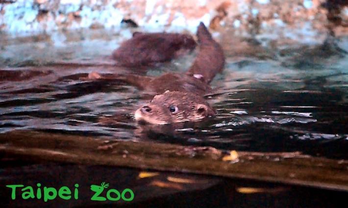 其中一隻水獺寶寶願意主動下水游泳,讓媽媽可以很放心地在一旁輕鬆伴游[開啟新連結]