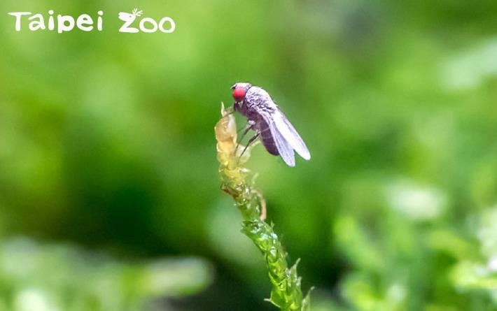 果蠅不是環境中討人厭的小昆蟲,而是箭毒蛙的食材呢![開啟新連結]