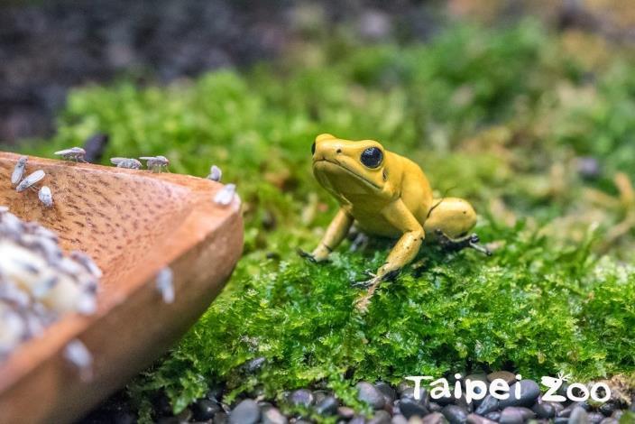 園內飼養的箭毒蛙以無毒的果蠅為主食,因此是沒有毒性的![開啟新連結]