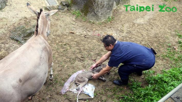 非洲野驢生產實境~目擊遊客直呼太幸運!
