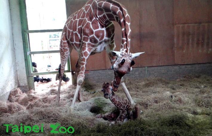 長頸鹿「小麥」首次當媽媽、新生寶寶尚未脫離險境!