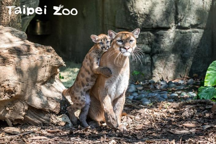 美洲獅寶寶「太、妃、糖」滿1歲!想看母子同框請在半年內!