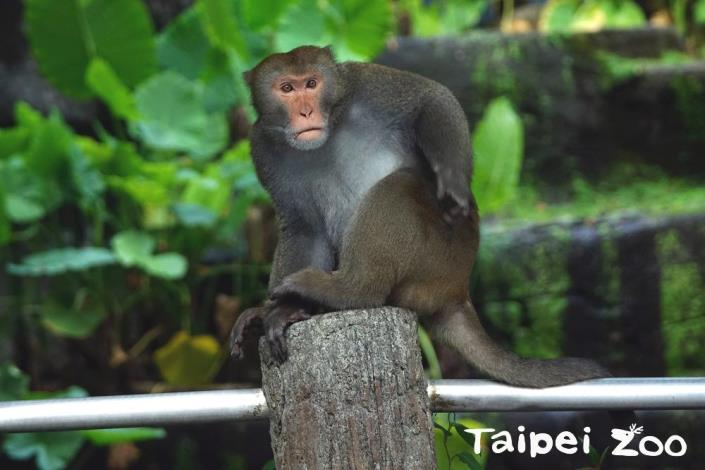 「金莎」完勝野生獼猴~母性堅強官方認證