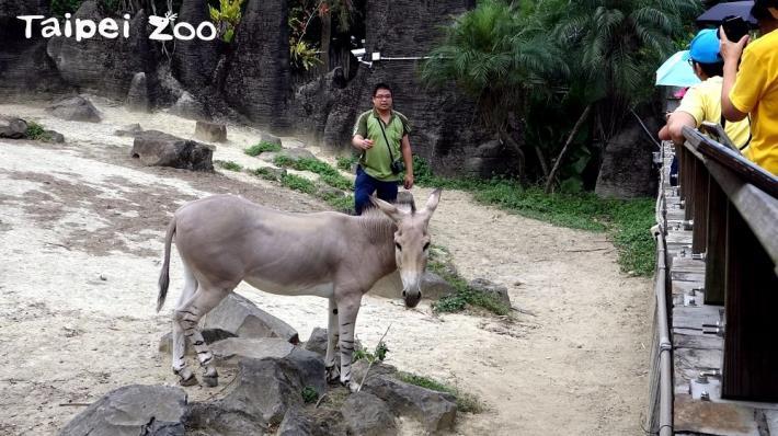 動物夏夏叫非洲野驢之夜—全能保育員2018最終章
