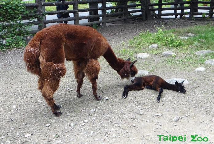 「羊駝」新手媽媽好迷糊~保育員照養不敢鬆懈!