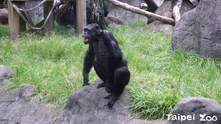 黑猩猩「長者」智勇雙全~地位高猶如家族「珍寶」!
