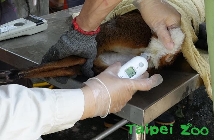 獸醫師為山羌測量體溫[開啟新連結]