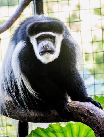 「黑白疣猴」,「疣」字注音為ㄧㄡˊ[開啟新連結]