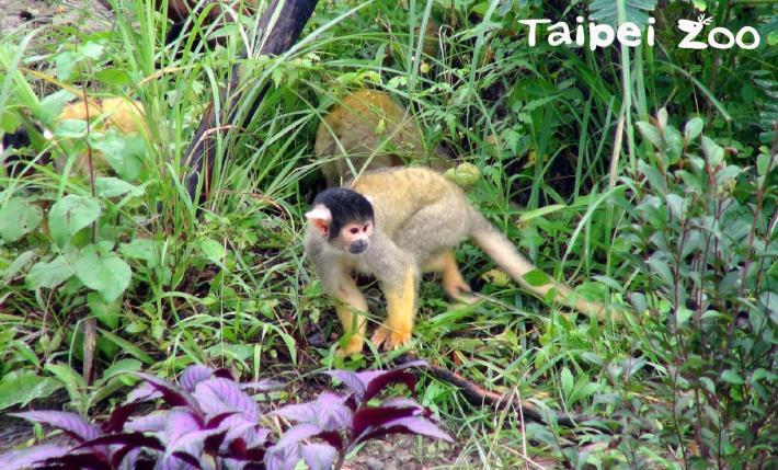 木屑、乾草、麵包蟲~豐富「黑冠松鼠猴」生活環境!