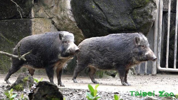 「非洲豬瘟」疫情正在延燒,請大家記得不要攜帶生鮮蔬果及肉製食品回來唷! (臺灣野豬「山茶」、「山櫻」)[開啟新連結]
