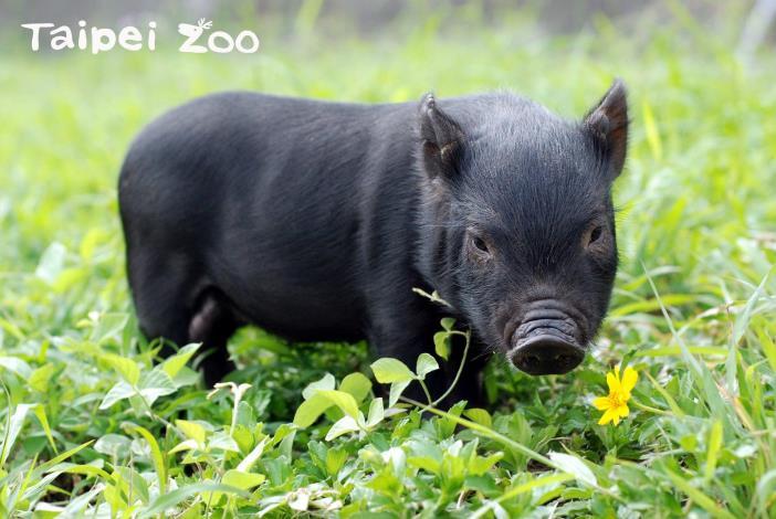 蘭嶼豬(本圖片由「行政院農業委員會畜產試驗所」提供)[開啟新連結]