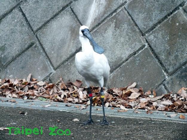 編號「191」5歲的雄性黑面琵鷺(腳環為「黃赤」),就是「臺北」的後代(本照片由日本「多摩動物公園(Tama Zoological Park)」)提供[開啟新連結]