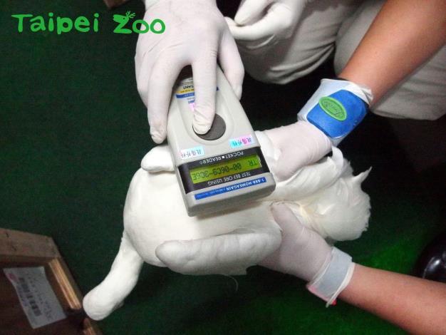 保育員用儀器掃描黑面琵鷺身上的晶片(吳立信攝)[開啟新連結]