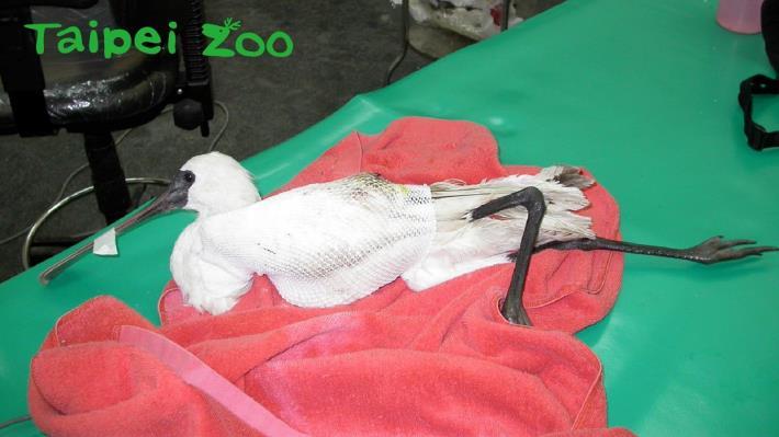 2002年底宜蘭縣政府動植物防疫所將受傷的黑面琵鷺送到臺北市立動物園治療(王寶榮攝)[開啟新連結]