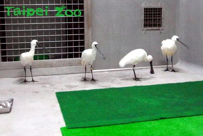 四隻黑面琵鷺於1月8日晚間平安抵達臺北市立動物園(吳立信攝)[開啟新連結]