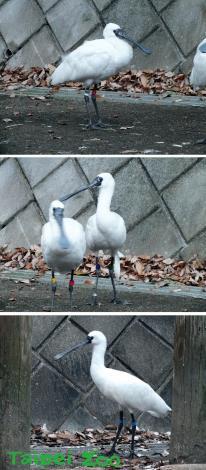 上:編號69、中左:編號191、中右:編號135、下:編號156(照片由日本「多摩動物公園(Tama Zoological Park)」)提供[開啟新連結]