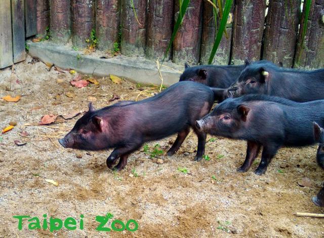 農曆生肖豬年將至-豬事動物園報你知