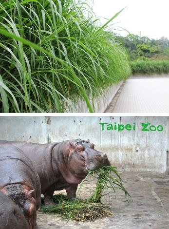 非洲區及動物綠籬改種狼尾草,新鮮現採河馬最愛吃!