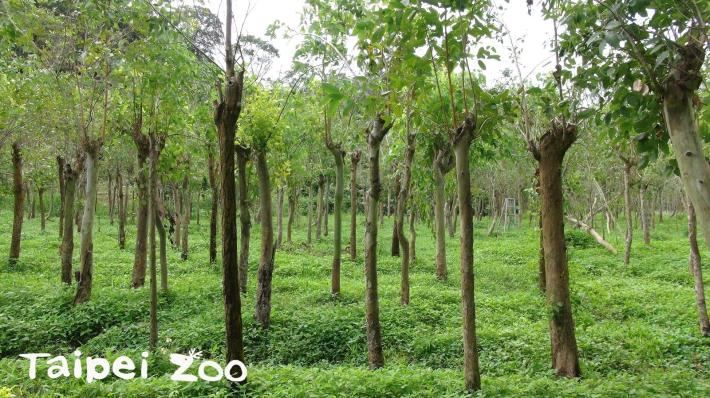 專為無尾熊栽種的各種尤加利樹