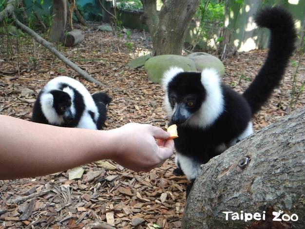 早起的民眾還能近距離觀察狐猴享用早餐